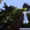 瑞鳳殿の巨木