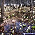 咲き始めた田谷地沼のミズバショウ