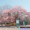 ふるさと広場の桜