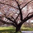 宮城自転車競技場の桜