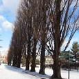 宮城野原公園のポプラ並木