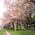 宮城野原公園のサクラ