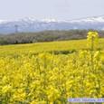 ひまわりの丘・菜の花まつり