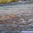 広瀬川に鮭