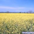 菜の花畑(阿武隈川河川敷)