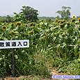 向日葵畑(阿武隈川河川敷)