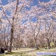 加瀬沼公園のサクラ