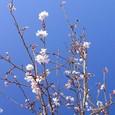 君ヶ岡公園の四季桜