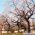 木ノ下公園の桜