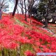 羽黒山公園の彼岸花(マンジュシャゲ)