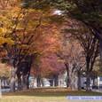 ケヤキ並木の紅葉