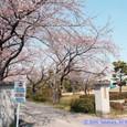 遠見塚小学校の桜と遠見塚古墳