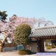 保春院山門と桜