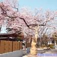 保春院山門脇の桜