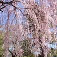 陸上自衛隊仙台駐屯地のお花見