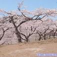 西行戻しの松公園の春