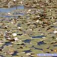 睡蓮咲く池