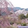 春の益岡公園