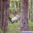 昭和万葉の森で出会ったニホンカモシカ