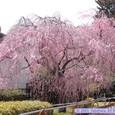 春の榴岡公園